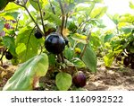 eggplant. vegetables from the... | Shutterstock . vector #1160932522