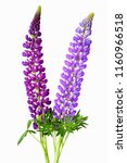 New Zealand Russell Lupin...