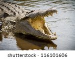 Florida Alligator With Mouth...