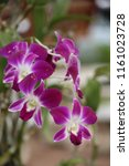 orchid   be flower that the... | Shutterstock . vector #1161023728