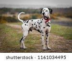 Dalmatian Dog Portrait Stood U...