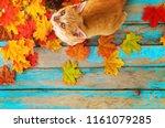 orange kitten look up and... | Shutterstock . vector #1161079285
