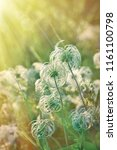 beautiful nature   fluffy ... | Shutterstock . vector #1161100798