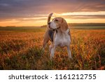 Portrait Of A Beagle Dog On Th...
