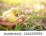 Duckling Sleeping In Hand ...
