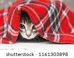 Stock photo cute little kitten looks out from under red warm plaid close up 1161303898