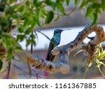 sparkling violetear hummingbird ... | Shutterstock . vector #1161367885