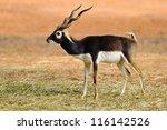 Indian Black Buck Antelope ...