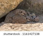 group of meerkats suricata... | Shutterstock . vector #1161427138