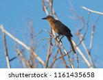 a female great tailed grackle ... | Shutterstock . vector #1161435658