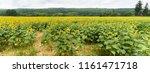 Panoramic View Sunflower Field Full - Fine Art prints