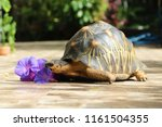 Stock photo portrait of radiated tortoise the radiated tortoise eating flower tortoise sunbathe on ground with 1161504355