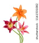 beautiful lily flower isolated... | Shutterstock . vector #1161531082