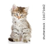 Stock photo fluffy gray beautiful kitten isolated on white background 116171662