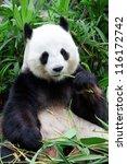 Small photo of giant panda bear eating bamboo