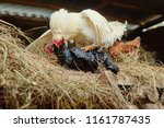 Mating Of White Rooster And...