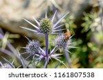Bee Pollinating Eryingium...