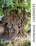 gnarled trunk from a giant old... | Shutterstock . vector #1162060252