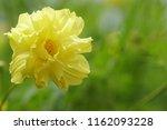 yellow cosmos or cosmos... | Shutterstock . vector #1162093228