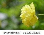yellow cosmos or cosmos... | Shutterstock . vector #1162103338
