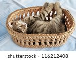 Stock photo adorable baby cat sleeping in basket over light blue background 116212408