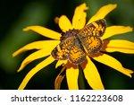 northern crescent butterfly... | Shutterstock . vector #1162223608