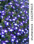 Lobelia Erinus Anabel Blue Hope