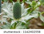 Eryingium Alpinum Flower...