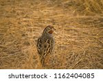 jungle bush quail  perdicula... | Shutterstock . vector #1162404085