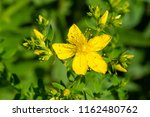 close up of a yellow common... | Shutterstock . vector #1162480762