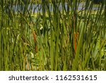 Reed Thickets On A Pond