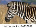 Close Up Portrait Of A Zebra ...