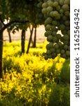 grape plantation in august in...   Shutterstock . vector #1162564342