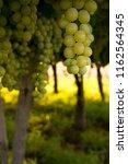 grape plantation in august in...   Shutterstock . vector #1162564345