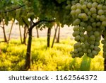 grape plantation in august in...   Shutterstock . vector #1162564372
