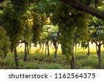 grape plantation in august in...   Shutterstock . vector #1162564375