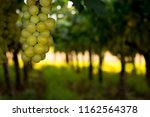 grape plantation in august in...   Shutterstock . vector #1162564378