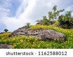 the orange daylily tawny... | Shutterstock . vector #1162588012