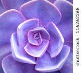 Purple Succulent   Cactus Flower
