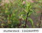 field mint closeup | Shutterstock . vector #1162664995