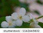 apple flowers closeup | Shutterstock . vector #1162665832