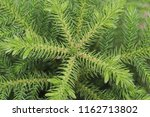top view of pine tree  green... | Shutterstock . vector #1162713802