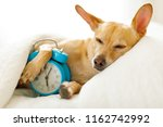 chihuahua dog in bed resting or ... | Shutterstock . vector #1162742992