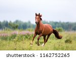 Chestnut Horse Runs Gallop On ...