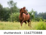 Portrait Of A Chestnut Horse I...