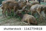 deer with beautiful antlers | Shutterstock . vector #1162754818