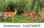 a few deer emerge from the tall ...   Shutterstock . vector #1162764835
