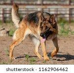 beautiful german shepherd dog... | Shutterstock . vector #1162906462