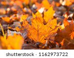 lying on the ground maple... | Shutterstock . vector #1162973722