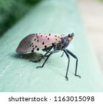 spotted lanternfly sits on a... | Shutterstock . vector #1163015098